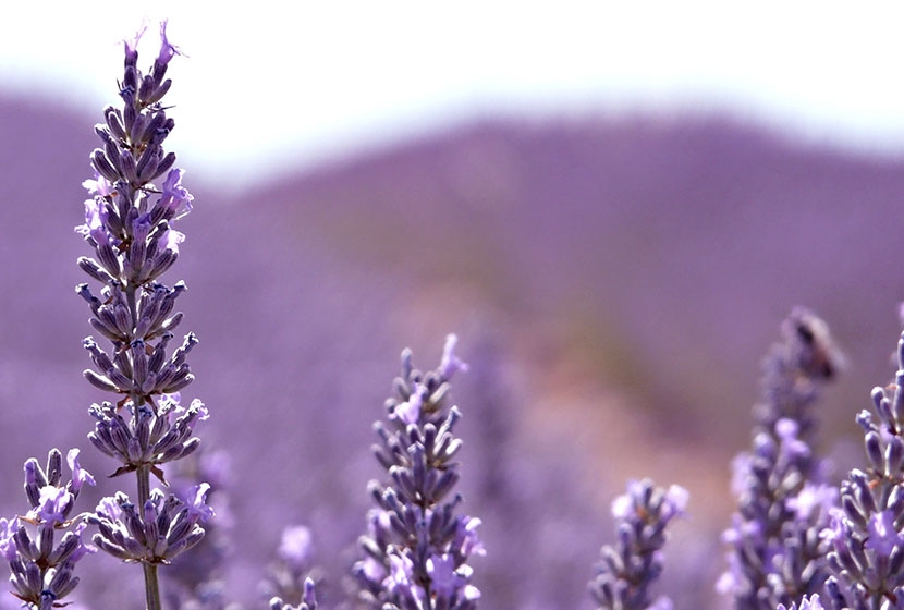Lavender - Find out about these pretty flowers that heal